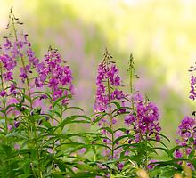 Fireweed at Sun Peaks by Margaret Goodwin
