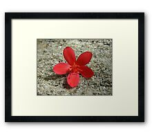 Spicy Jatropha  Framed Print