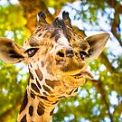What Ya Looking At? - Funny Giraffe Hamming it Up by Mark Tisdale