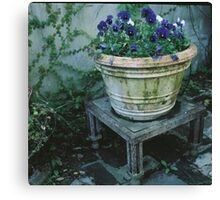 Violets in the Courtyard Canvas Print