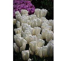 Group of White and Purple Blue Tulips at Tesselaar Victoria Australia 20160923 7575  Photographic Print