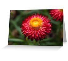 Strawflower (Xerochrysum bracteatum) Greeting Card