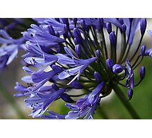 Lily of the Nile  (Agapanthus sp.) Photographic Print
