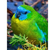 Turquoise Parrot Photographic Print