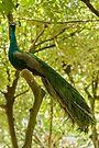 Bird of Paradise 2 by Werner Padarin