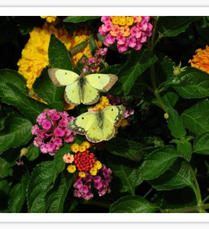 Clouded Sulpher Butterfly #1 - Pair Sticker