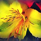 Alstroemeria  - Peruvian Lily by EdsMum