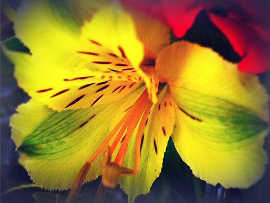 Alstroemeria  - Peruvian Lily by EdsMum