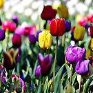 Color del Tulip by Rinaldo Di Battista