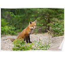 Red fox kit - Algonquin Park, Canada Poster