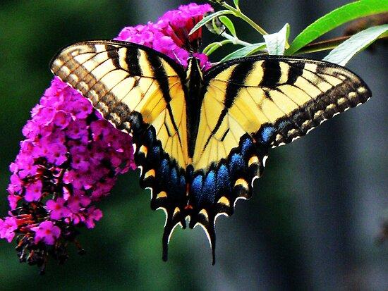#140 Tiger Swallowtail On Butterfly Bush by MyInnereyeMike