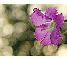 Pink Hairy Willow Herb Photographic Print