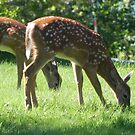 White-tail Fawns by Martha Medford