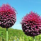 Drumsticks - Allium Sphaerocephalon by Barrie Woodward