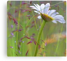 Oxeye Daisy - After The Rain Canvas Print