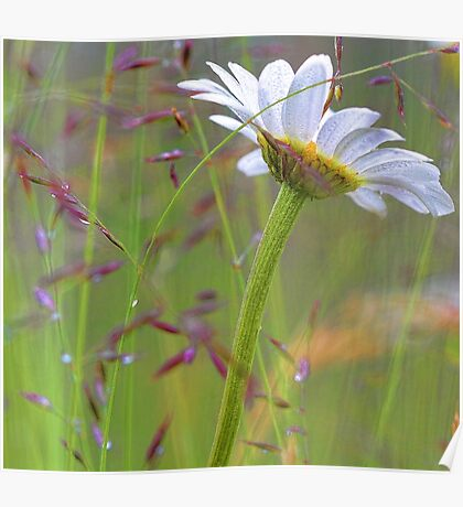 Oxeye Daisy - After The Rain Poster