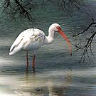 The Ibis by imagetj