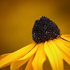Black-Eyed Susan by Tracy Friesen
