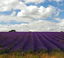 Lavender Landscape (Version 2) by ScenicViewPics