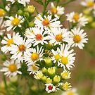 Late Summer Daisies by lorilee