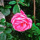 Beautiful pink rose by Shulie1