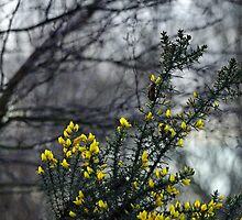 Common Gorse in the Woodland by Rod Johnson