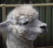 Alpaca at Peel Zoo by lezvee