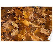 Golden Birch Leaves  Poster