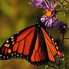 Monarch on New England Aster #2  by Kane Slater