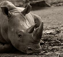 Rhino In The Mud by sanham