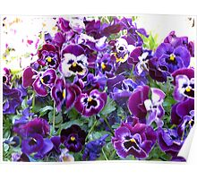 Purple Pansy Frenzy Poster