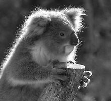 Young Koala BW by DavidsArt