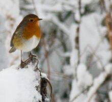 Robin red breast winter design for Christmas  Sticker