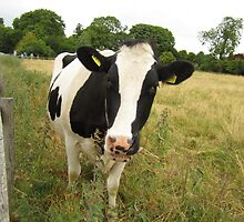 Moo by alfalfascout