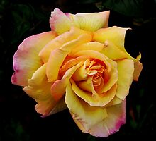 Double Hearted Peach Rose by kathrynsgallery