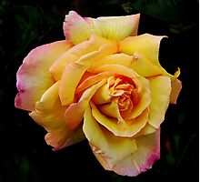 Double Hearted Peach Rose Photographic Print