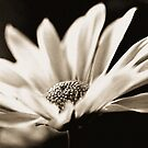 Miss Daisy by Terri~Lynn Bealle