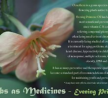 Herbs as Medicines:  Evening Primrose by cdwork