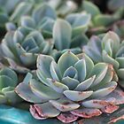 Echeverias surviving the winter by Maree  Clarkson