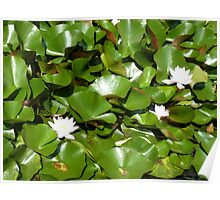 Sunshine on the lily pond Poster
