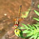 Dragonfly by taiche