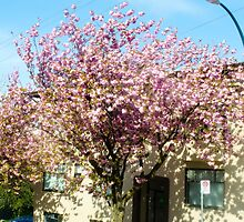 Spring Blossoms/Vancouver by letm88