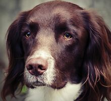 English Springer Spaniel by Anne Staub by Anne Staub