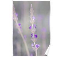 Lavender macro Poster