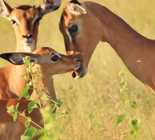 Impala - Motherly Love in Nature Sticker