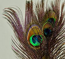 peacock feathers by Lesleymc77