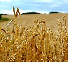fields of gold by Lesleymc77
