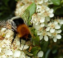 Busy Bee. by Fay Freshwater