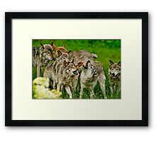 Timber Wolves at Play Framed Print