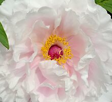 Tree Peony close up by RoyceRocks